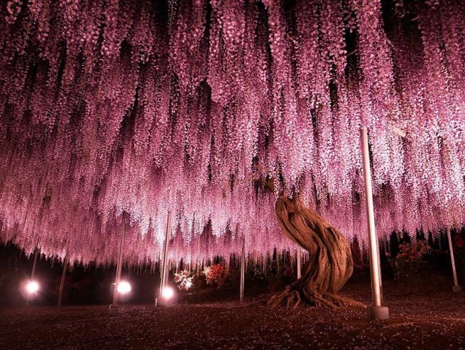 144-годишнаа глициния в Япония