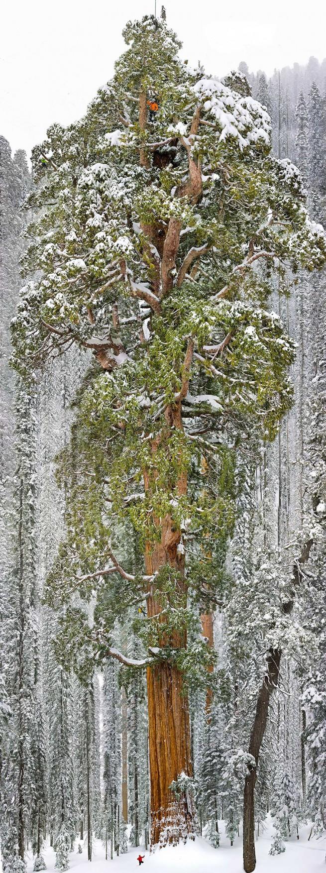 Президентът  третата най-голяма гигантска секвоя в света