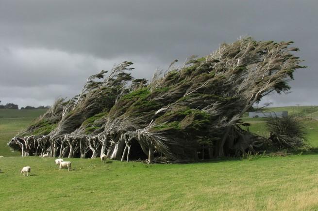 Вятърните дървета в Нова Зеландия