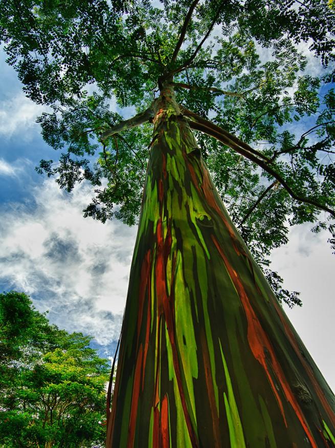 Цветен евкалипт в Кауаи, Хаваи