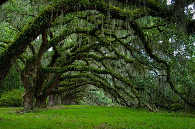 Дъбов тунел в плантация Дикси, Южна Каролина