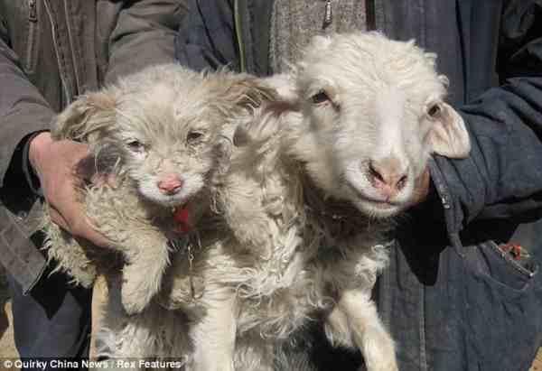 коза роди кученце