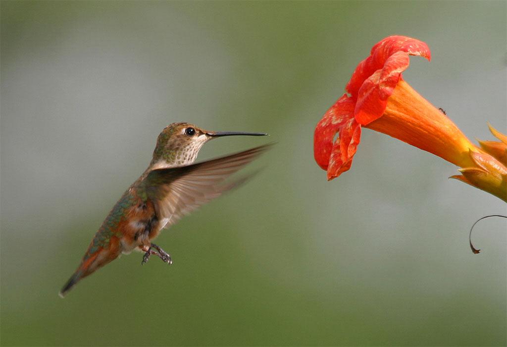 Пчелно колибри