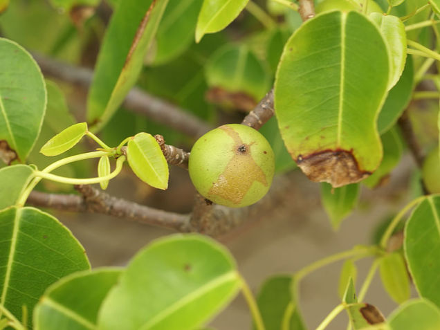 Най-отровните растения на планетата