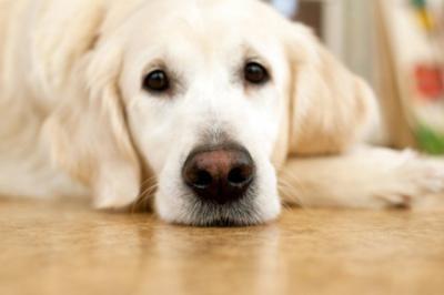 golden river dog