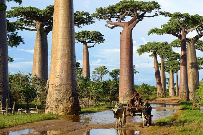 Баобабови дървета в Мадагаскар