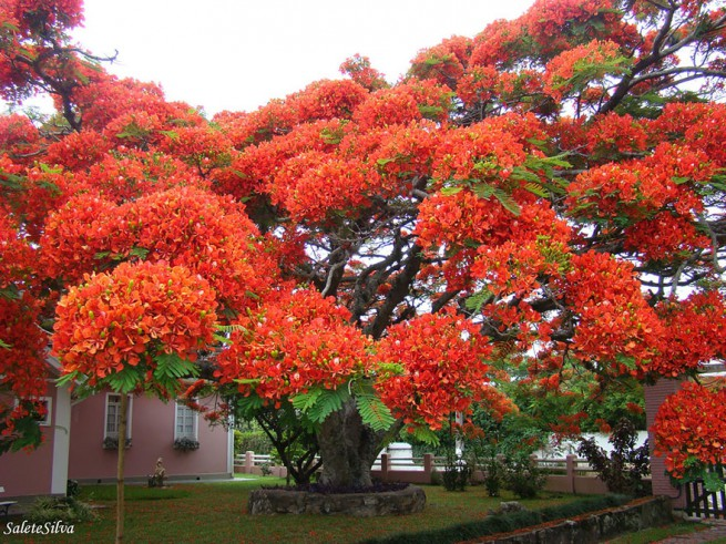 Огнено дърво в Бразилия