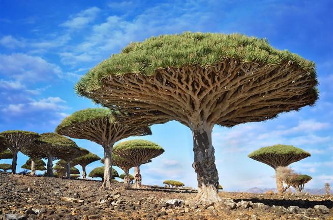 7. Драконови дървета в Йемен